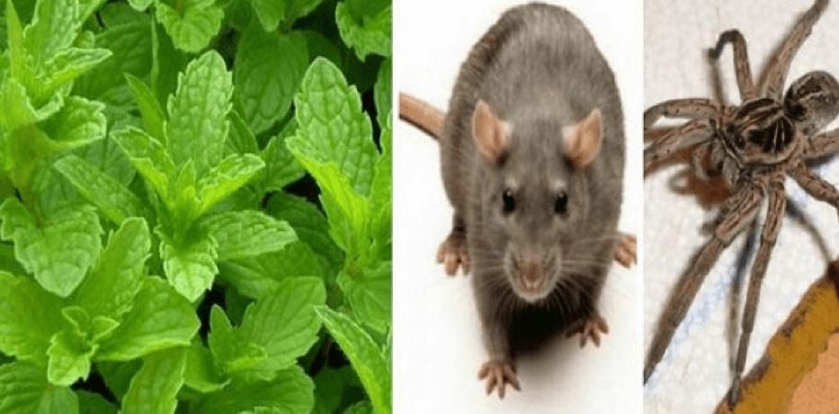 Planta care te ajută să scapi de insecte, gândaci, șoareci sau păianjeni