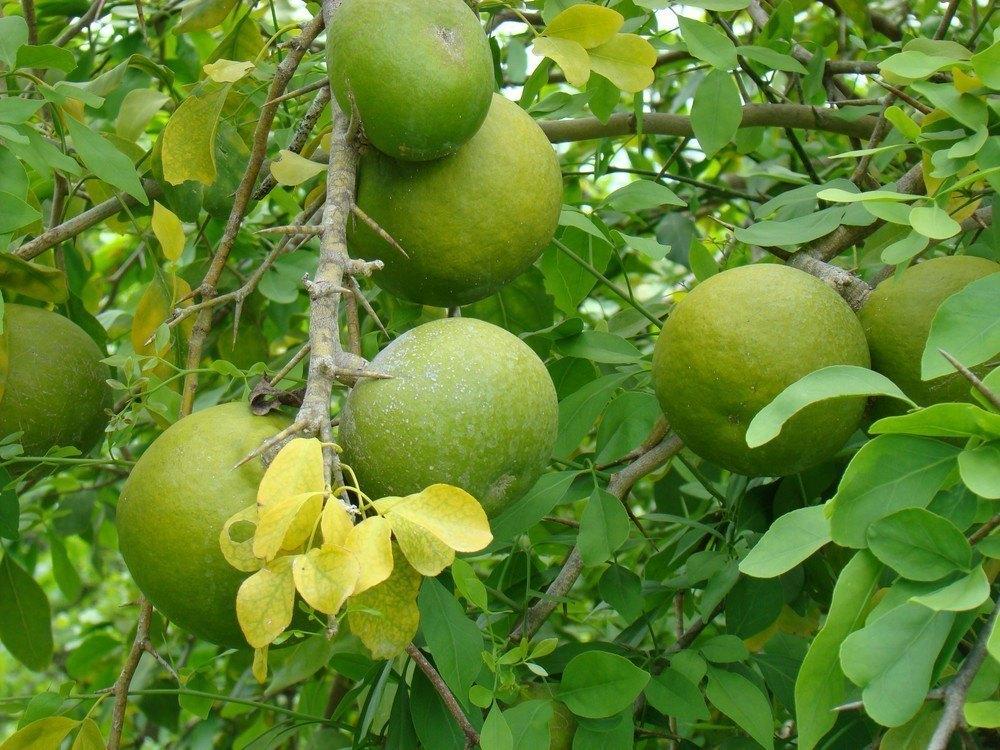 Aceste fructe și frunze sunt folosite în medicina naturistă din India