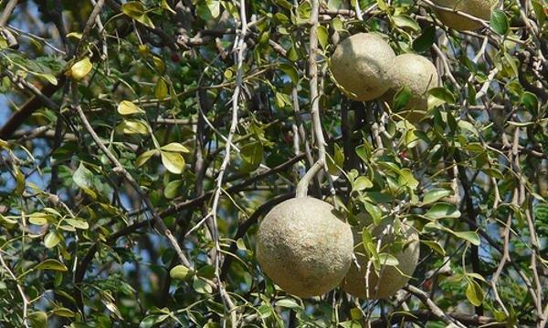 Așa arată fructele și frunzele de woodapple